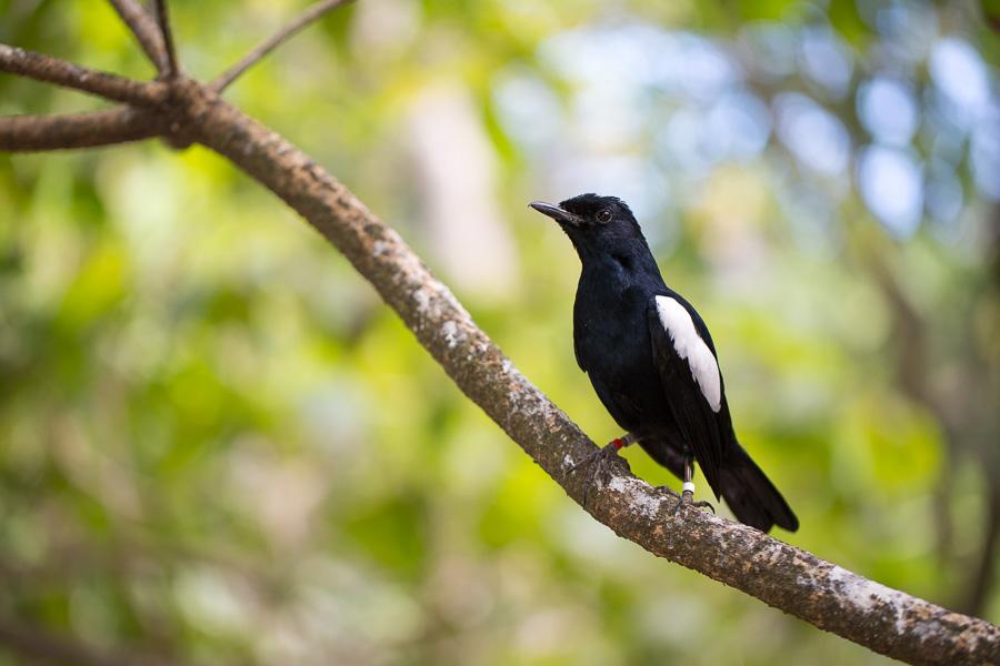 Seychelles Magpie-Robin (Copsychus sechellarum)